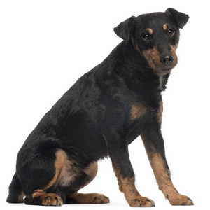Jagdterrier allemand
