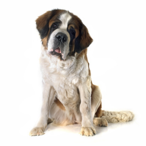 Saint-bernard poil long
