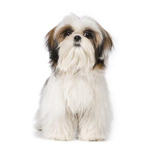 Elevages De Shih Tzu En France