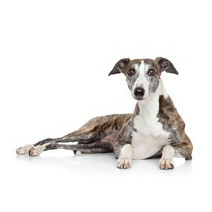 Race chien Whippet