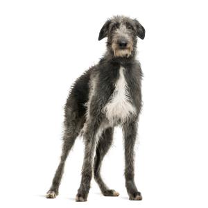 Les élevages de Deerhound