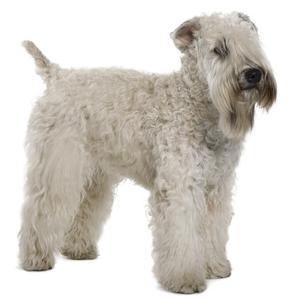 Les élevages de Terrier irlandais à poils doux